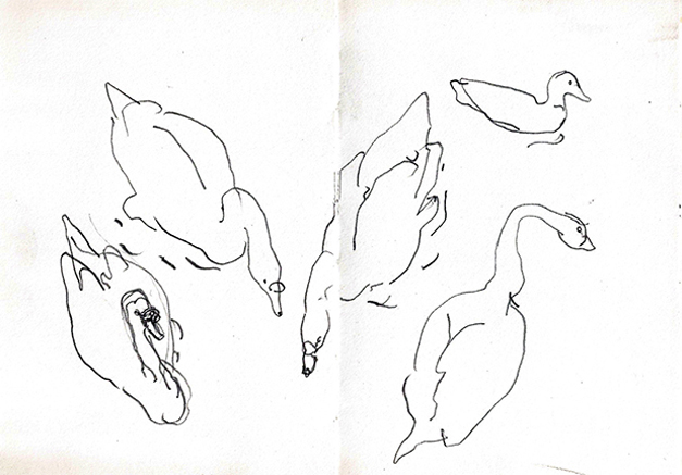 Swans and duck